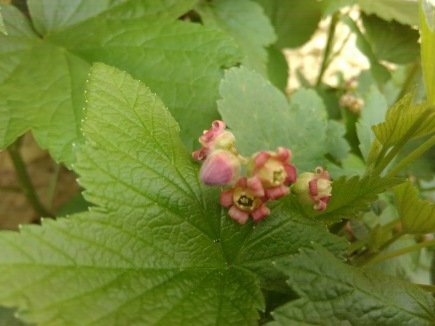 Flowers starting on little black currant growing in a pot. April 2017