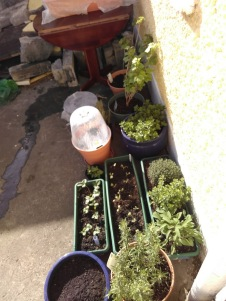 Mixture of shop-started herbs and fruits, and veg grown from seed in pots by the backdoor. Early April 2017