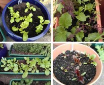 Green lettuces, mixed oriental leaves (rockets, mustards), radishes and beetroot amongst potted produce starting to take off. April 2017