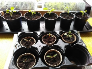 Indoor seedlings getting ready to go outside: Hope to get a little greenhouse going when we clear the old coal bunker. Little sun trap there...