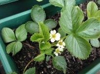 Promising flowers and fresh leaves on strawberry plants, April 2017
