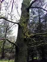 Mucklagh trees