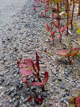 Seedlings in asphalt