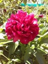 Peony bush has sprung into life. Beautiful sweet smell