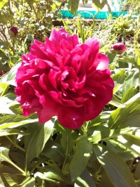 Peony bush has sprung into life. Beautiful sweet smell