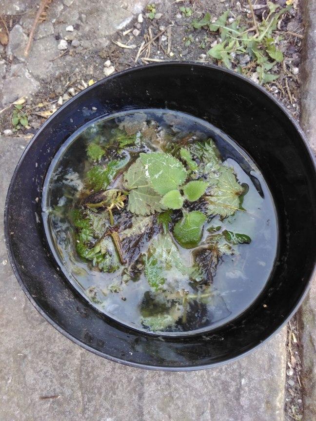 Nettle tea brewing