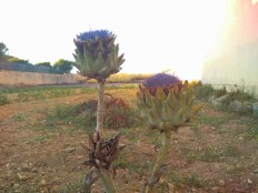 artichokes flowering