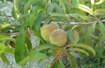 peaches ripening