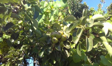 apples and grapes grow in the shade of cacti