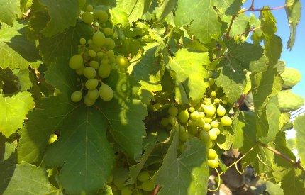 young grapes ripening