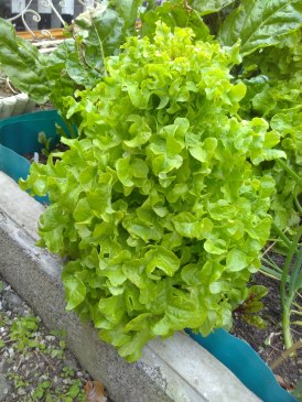 Lettuce growing huge in the raised bed, to the detriment of other plants