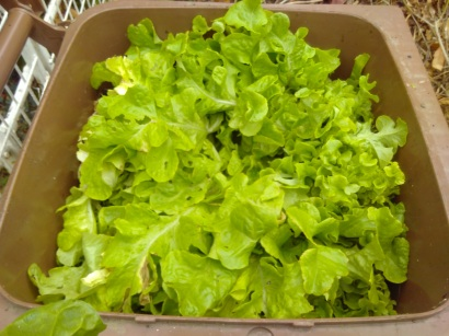 Most of the lettuce ended up in the composter.