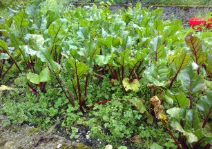 Beetroot patch