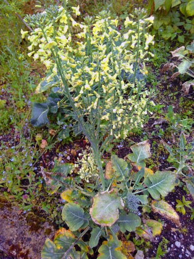 Bolted, flowering broccoli
