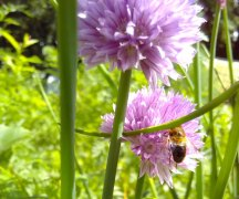 Bee on Chive Flower