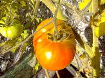 A rare tomato.