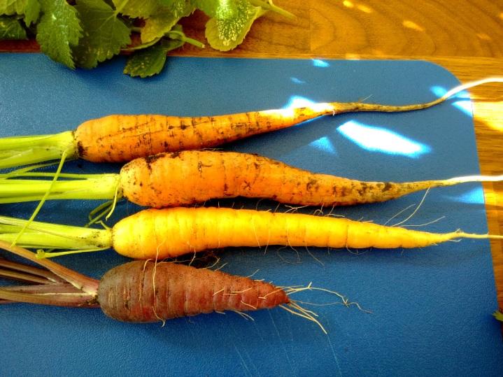 Heritage carrot varieties.