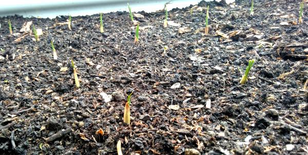 garlic 15 march