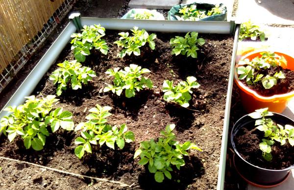 potatoes-29-april
