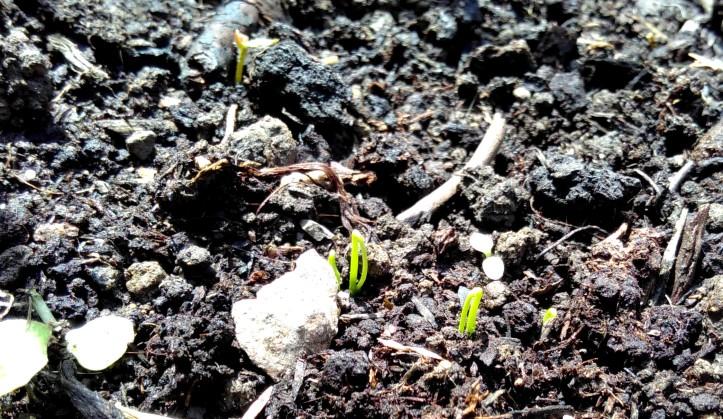 spring-onions-29-april