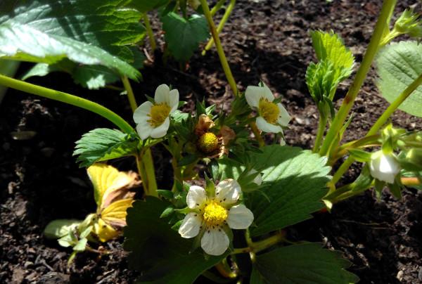 strawberries-29-april