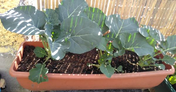 broccoli-may-18
