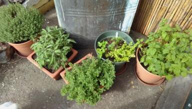 Flourishing herbs. Mid-May 2018.