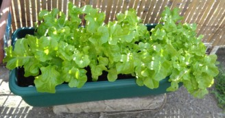 'Salad bowl' lettuce. Great cut and come again variety. Mid-May 2018.