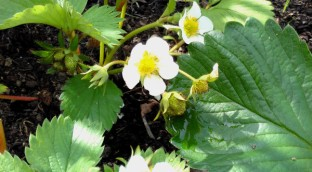 Strawberries starting to show first fruit. Mid-May 2018.