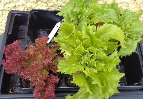 lettuce-17-june