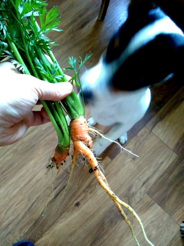 pip-carrots