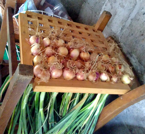 A handy piece of shelving for curing shallots in the shed.