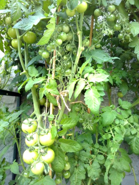 The growth of the tomato fruit has slowed down (though there's already lots of it across our six plants, and lots more flowers yet). We pruned them a couple of weeks ago, and there's been lots of foliage regrowth but the fruit seems static. I'll give them extra feed and water and see if the situation changes.