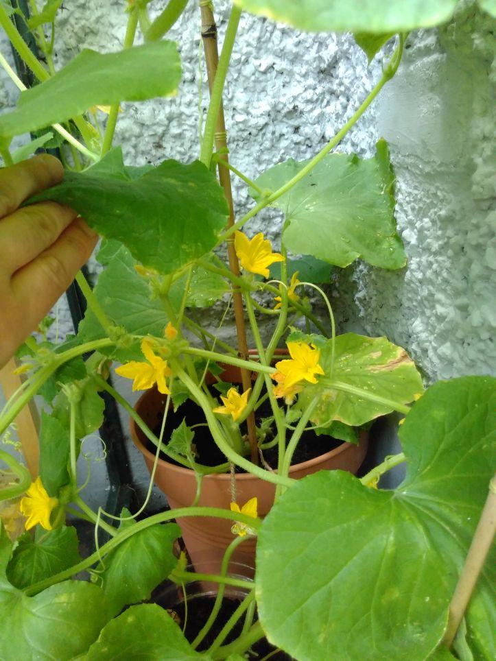 22-july-cucumber-flower