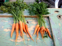 The dry weather (and dried-out soil) stunted the growth of my first crop of carrots. The ones on the left are from a pot, the ones on the right for a too stoney bed, hence the forking.