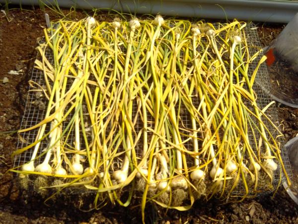 garlic-5-july