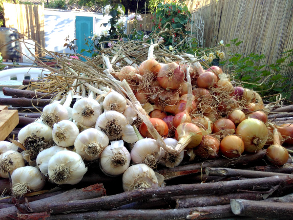 garlic-shallots-7-july