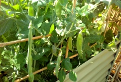The 'progress' pea pods are coming along nicely.