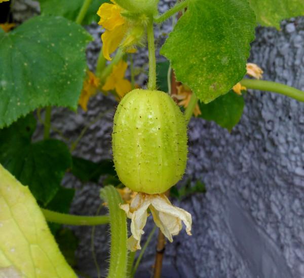 cucumber-11-aug-18