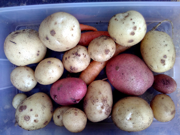 mystery-potatoes26Aug18