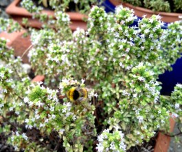 One of our many bee visitors investigating the oregano flowers.