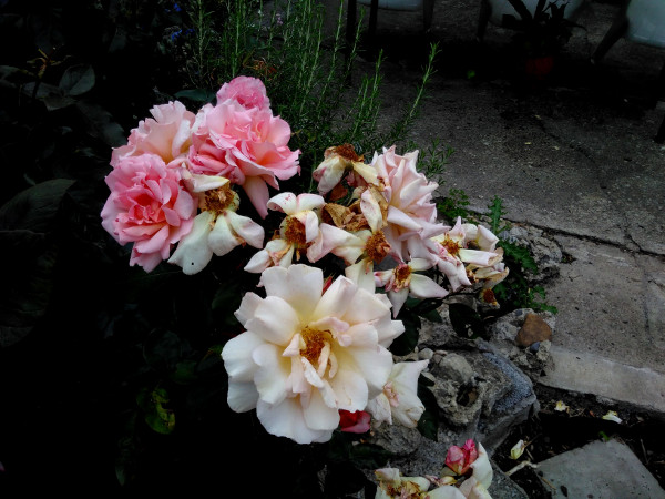 roses-11-aug-18