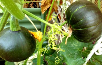I've counted nine squashes growing, and many more little fruits showing on our ever extending plants. We harvested one last week, but far too early. It was not a pleasant eating experience!