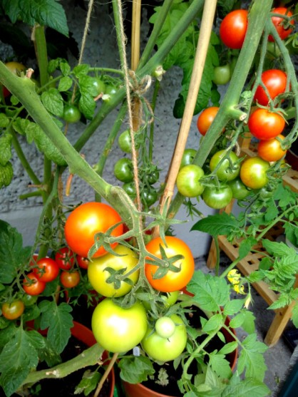 We're growing two varieties of tomato: Gardeners' Delight (a cherry variety) and Douglas F1 (medium fruits). We've started eating the cherries (deliciously sweet), haven't had a fully ripened Douglas as yet.