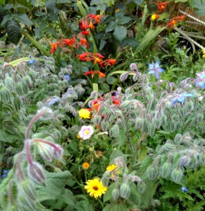 Our little wildflower wilderness is doing well, and the borage in particular is very popular with the bees.