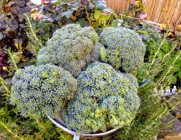 broccoli-oct-2018