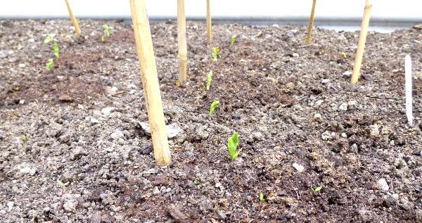 peas-may-2019