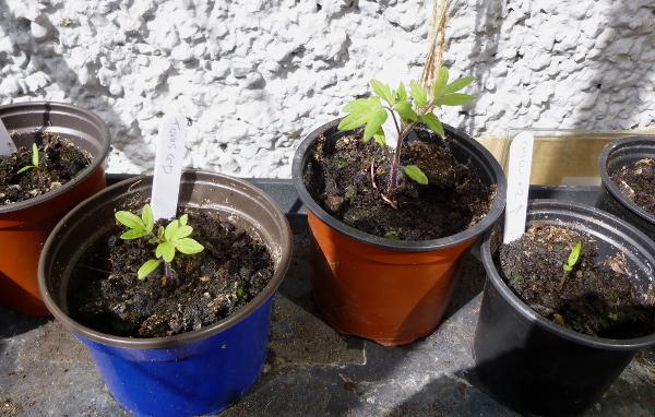 tomatoes-may2-2019