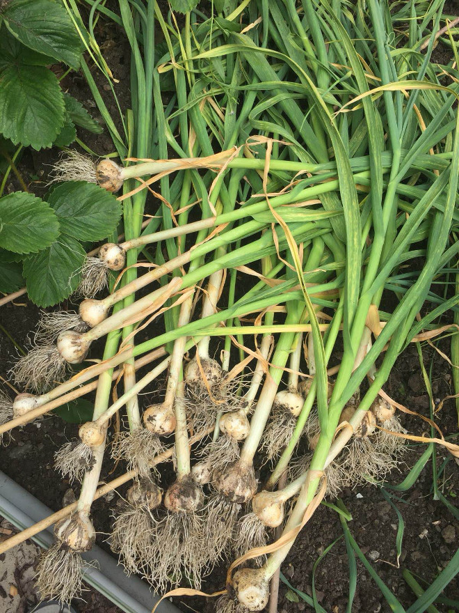 garlic-july-2019