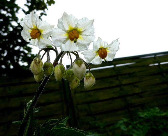 potato-flowers-aug-2019